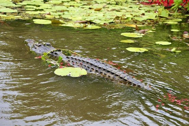 crocodile005